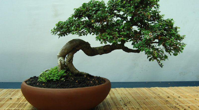 Миниатюрное дерево бонсай
