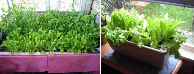 Выращивание зелени летом на балконе 32
