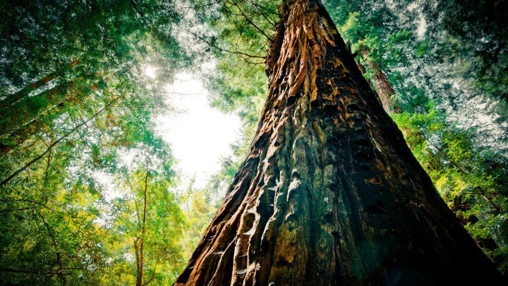 Дерево породы венге