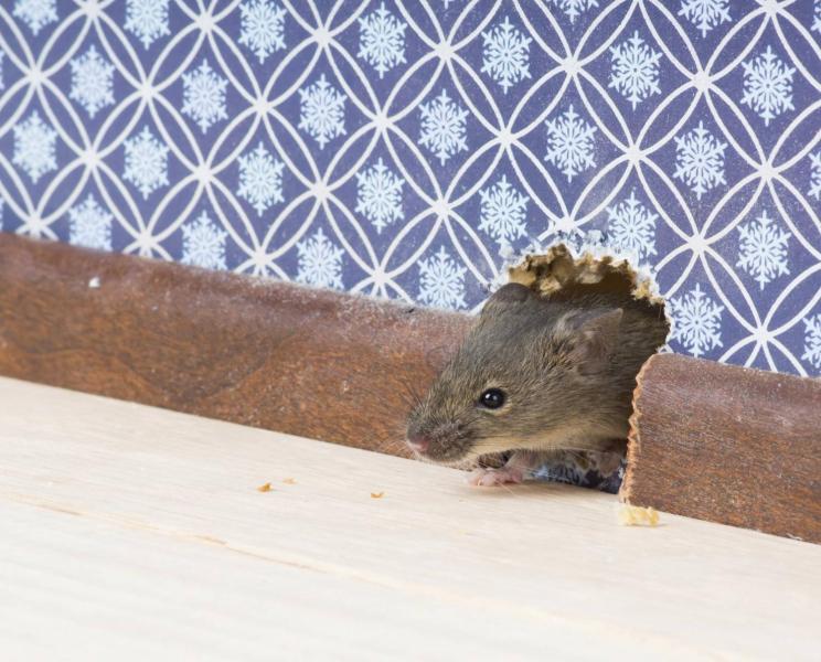 Сколько времени разлагается мышь