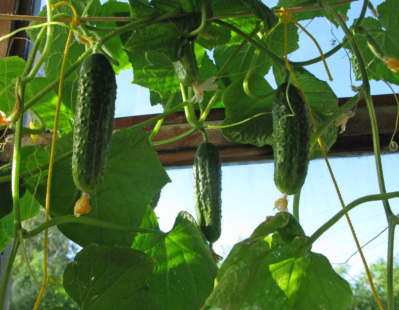 Как выращивать огурцы на балконе: вкусный сад в вашей квартире