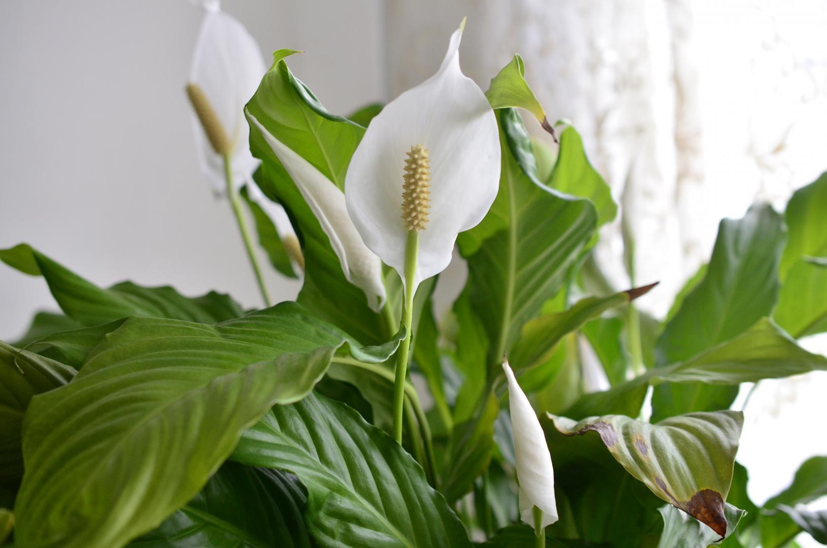 Цветы в доме: почему не цветет Женское Счастье?