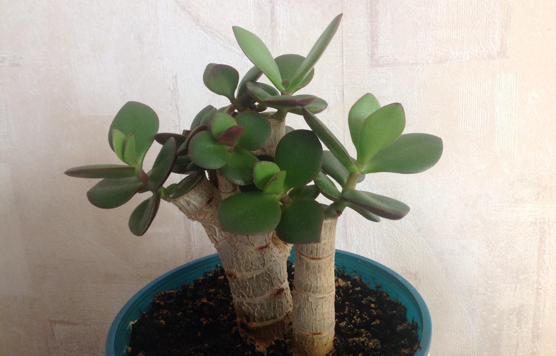 Цветы в доме: почему не растет Денежное дерево? - Отделка
