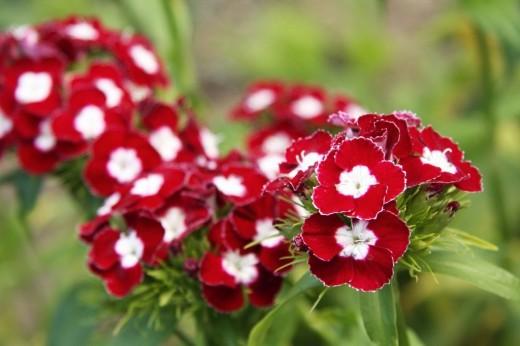 Какие цветы посадить на даче весной
