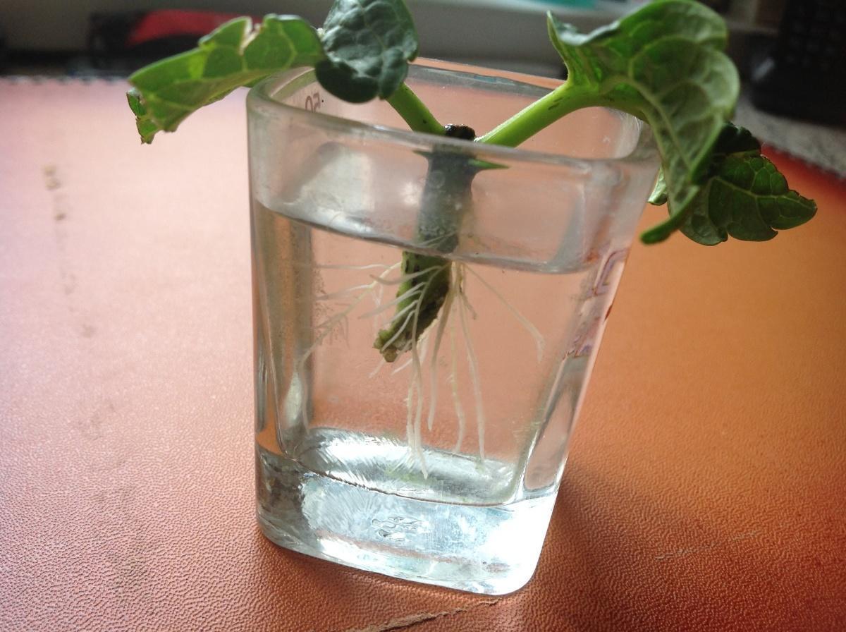 [Растения в доме] Как размножить гортензию своими руками?