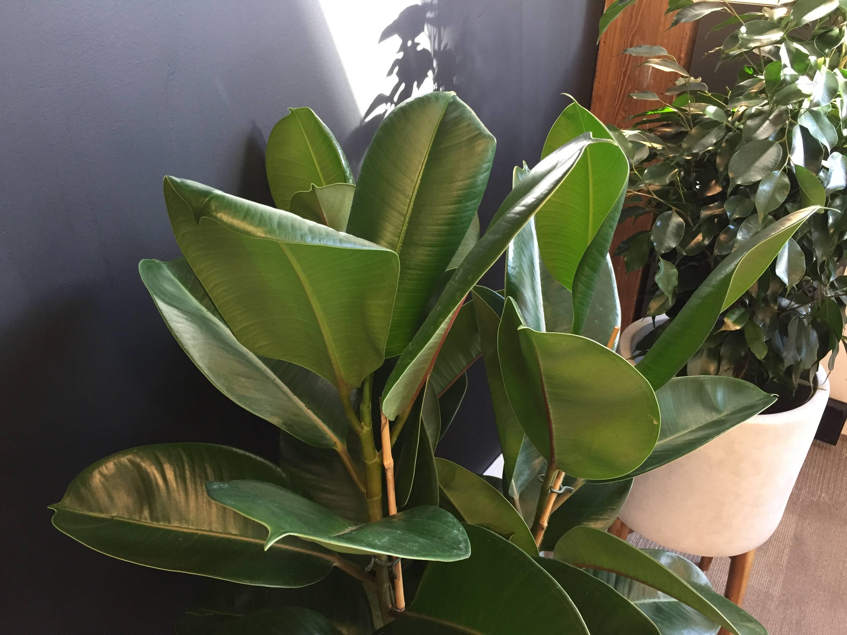 [Растения в доме] какой фикус выбрать новичку?