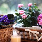 [Растения в доме] почему фиалка не цветет?