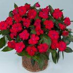 [Растения в доме] неприхотливые комнатные растения цветущие круглый год