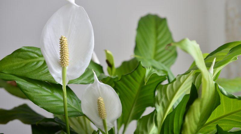 [Растения в доме] Как ухаживать за спатифиллумом?