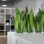 [Растения в доме] Лучшие крупные растения для озеленения офиса