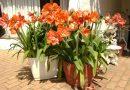 [Растения в доме] Как ухаживать за Амариллисом в домашних условиях?
