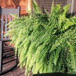 [Растения в доме] Уход за домашним папоротником