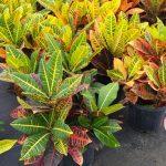 [Растения в доме] Кротон: основные правила ухода