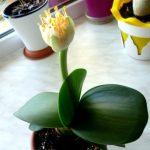 [Растения в доме] Гемантус: секреты выращивания