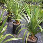 [Растения в доме] Панданус: правила ухода