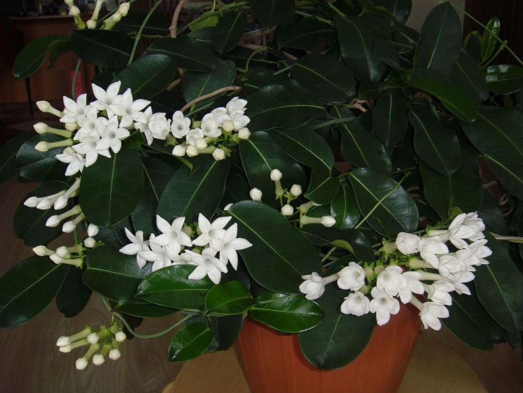 [Растения в доме] Стефанотис: правила ухода