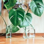 [Растения в доме] Монстера: секреты выращивания