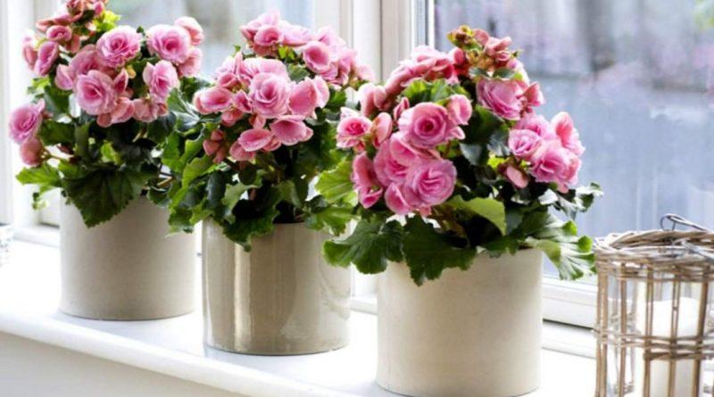 [Растения в доме] Бегония: правила ухода - Интерьер