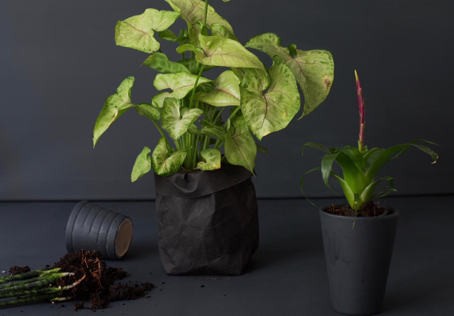 [Растения в доме] Сингониум: секреты выращивания