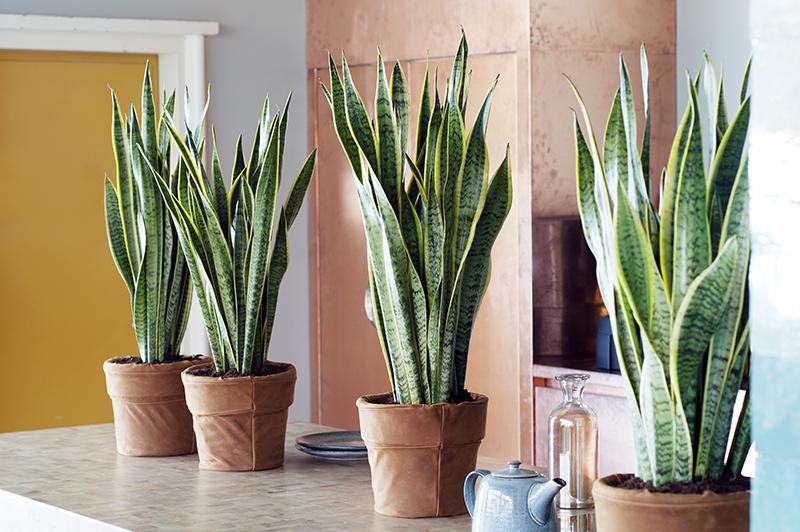 [Растения в доме] Как ухаживать за Сансевиерией