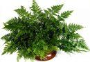 [Растения в доме] Давалия: секреты ухода
