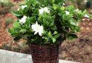 [Растения в доме] Гардения: секреты ухода