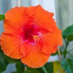[Растения в доме] Гибискус: секреты ухода