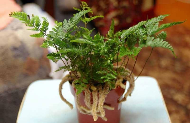 [Растения в доме] Давалия: секреты ухода - Отделка