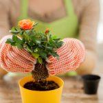 [Растения в доме] Как вырастить розы на окне?